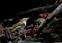 ・センダイムシクイ - 鳥見撮り