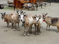 八木山動物公園のトカラヤギたち - 動物園放浪記