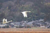 邑知潟の白鳥24 - SWAN