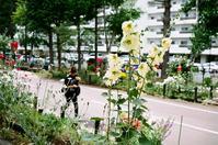 夏の黄いろいタチアオイと秋の黄蜀葵 - 照片画廊