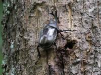 甲虫の仲間たち(カブトムシ、ノコギリクワガタ、ミヤマカミキリ、クロカナブン) - 花と葉っぱ