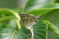 ホシチャバネセセリ草原の小さな小さな妖精 - 蝶のいる風景blog