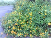 小葉のランタナ - だんご虫の花