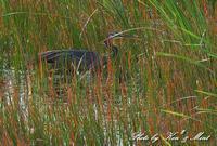 南の島3日目「ムラサキサギ」さん「クロハラアジサシ」さん「レンカク」さん♪ - ケンケン&ミントの鳥撮りLifeⅡ