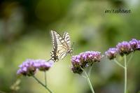 蝶々になった夢を見た。 - MIRU'S PHOTO