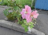 タチアオイ・立葵の花 - 日頃の思いと生理学・病理学的考察