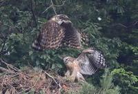 親子鷹 - 『彩の国ピンボケ野鳥写真館』