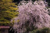 桜咲く京都2019福徳寺の枝垂れ桜 - 花景色-K.W.C. PhotoBlog
