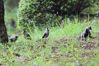 泥棒顔の鳥 - 白鳥賛歌