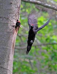 クマゲラ飛ぶ。 - 季節の野鳥~Wildbirds archives
