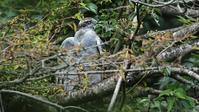 水浴びの後、ゆっくり羽を乾かすオオタカお母さん - Life with Birds 3