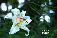 気難しいヤマユリの花 - ジージーライダーの自然彩彩
