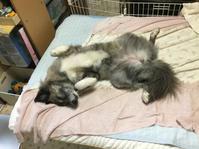 猛暑とクワガタ - 琉球犬mix白トゥラーのピカ