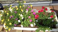 現在のサフィニアたち - うちの庭の備忘録 green's garden