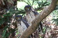 アオバズク幼鳥2羽と親1羽 - 私の鳥撮り散歩