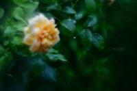 7月のバラ - GreenLife