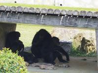 チンパンジーのイクちゃん[神戸市立王子動物園] - a diary of primates