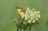 ツメナガセキレイ。 - 季節の野鳥~Wildbirds archives