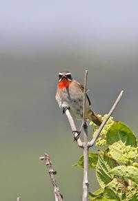 エゾカンゾウの終わった花園で。 - 季節の野鳥~Wildbirds archives