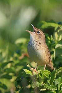 マキノセンニュウ。 - 季節の野鳥~Wildbirds archives