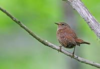 ミソサザイ。 - 季節の野鳥~Wildbirds archives