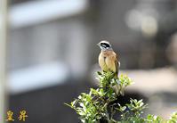 目的の鳥を撮る合間に、撮影しました運良し。誠 - 皇 昇