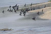 カワウ 大和川 大阪府内 2019年7月上旬 - 大和川野鳥撮影日記 大阪府内限定  鳥達の勝手気ままな生活を撮影  絶好の場面を期待し、通っています