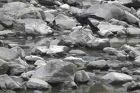 カラス 大和川 大阪府内 2019年8月上旬 - 大和川野鳥撮影日記 大阪府内限定  絶好の場面を狙って撮影