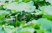 ハスの中にササゴイ - azure 自然散策 ~自然・季節・野鳥~