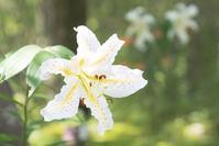 夏の箱根湿生花園 - エーデルワイスPhoto