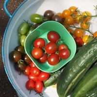 カラフルトマト - sola og planta ハーバリストの作業小屋