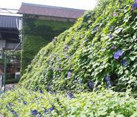 夏の空に映える青色 - 神戸布引ハーブ園 ハーブガイド ハーブ花ごよみ