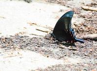 ミヤマカラスアゲハ(東信夏型&大雪山麓春型)ほかアゲハチョウの仲間 in2019 - ヒメオオの寄り道