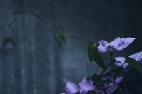 flower(3cut) クレマチス -     ~風に乗って~    Present