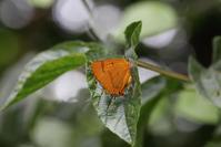 ムモンアカシジミ他 - Lycaenidaeの蝶鳥撮影日記