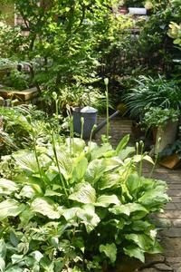 ホスタロイヤルスタンダードの蕾 - 小さな庭 2
