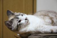 聞き耳を立てる猫 - ぎんネコ☆はうす