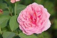 8月を迎えた花枯れのマイガーデン - 季節の風を追いかけて