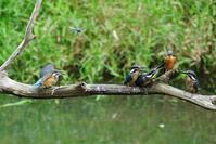 翡翠雛4羽と母鳥 - 生きる。撮る。