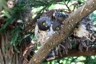 アオバズク運が良く会えました - 私の鳥撮り散歩