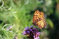 柳花笠で朝食の2種類の蝶々(^^♪ - 自然のキャンバス