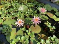 池の睡蓮 - 「今日の一枚」