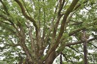 「大樹」 - hal@kyoto
