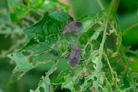 ■カメムシ 3種(2)19.8.5(ホオズキカメムシ、ホソへリカメムシ、キバラヘリカメムシ) - 舞岡公園の自然2