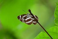 林縁のホシミスジByヒナ - 仲良し夫婦DE生き物ブログ