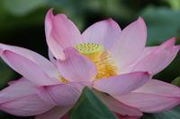 ピンクの競演(不忍池ハス) - マルオのphoto散歩