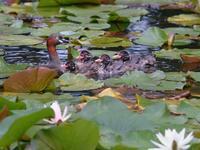 地元公園のカイツブリ親子たち(その後) - トドの野鳥日記