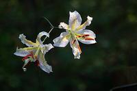 赤城自然園の夏の花 - 上州自然散策2