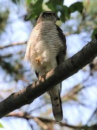 ハイタカ幼鳥 - 今日の鳥さんⅡ