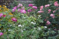 夏薔薇が咲く小さなローズガーデン - 季節の風を追いかけて